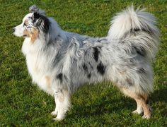 Beautiful Australian Shepard with the long tail i want a dog like this soooo bad!! <3