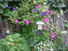 Morning Glory vines beautiful and so easy to grow
