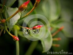 Photo about A close-up view of water droplets on Jasmine flower buds. Image of flowers, rain, buds - 32484828