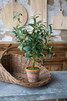 Potted Olive Tree Topiary / perfect for that farmhouse open shelving, touch of greenery to vignettes and displays, windowsills and the like.  Simply a must-have for home decor.