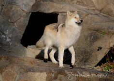 Alawa.  Canadian/Rocky Mountain Gray Wolf.    Photo by roni chastain, via 500px