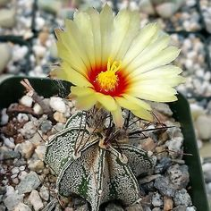 Astrophytum Capricorne Goats Horns (This plant comes in a 2 1/4 inch pot.You will receive a very similar plant to the one on the picture. It may or may not be blooming at the time of your purchase. Th