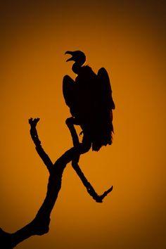 Cape Vulture Silhouette