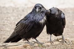 Raven pair allopreening White Wolf : Stunning Photos Capture the Majestic Beauty of Ravens Animal Dictionary, Raven Pictures, Quoth The Raven, Dark Wings, Jackdaw, Crows Ravens, White Wolf, Beautiful Birds, Beautiful Things