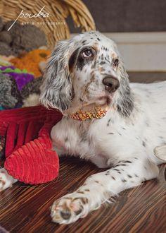 An English Setter puppy modeling a Lucky Fiona dog collar. Pet portrait. Pouka.com