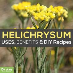 Helichrysum Essential Oil Uses, Benefits and DIY recipes