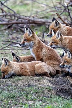 Red Fox Cubs by Kevin Pepper
