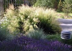 Deschampsia cespitosa 'Bronzeschleier'    Photo credit: Chris Moritz