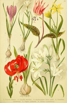 jomobimo:    Alpine Botanical: Alpen-Flora für Touristen und Pflanzenfreunde,1904.