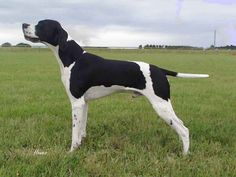 Pointer with lots of black