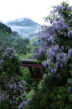 Wisteria, Kitayama, Kyoto, Japan, via pinterest