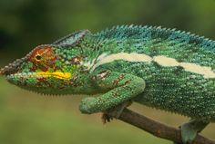 |branch|brown|bump|camouflage|center|chameleon|change|closeup|color|day|dot|environment|exterior|eye|face|green|horizontal|lizar