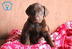 Spike   Doberman Pinscher Mix, Lab Mix Puppy For Sale   Keystone Puppies Doberman Puppy Red, Red Doberman Pinscher, Doberman Puppies For Sale, Lab Mix Puppies, Poodle Puppies For Sale, Newborn Puppies, New Puppy, Labrador Retriever, Dobermans