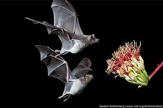 lesser long nosed bats converge on an agave blossom