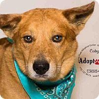 Australian Cattle Dog Dog for adoption in Grand Prairie, Texas - COBY