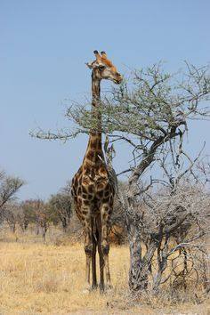 NAMIBIA ... eating giraffe