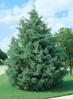 EVERYTHING you need to know about a real Christmas tree. Choose the best one for your house/climate varieties); get tips on taking care of it during the holidays; and learn how to plant it after Christmas. From the experts at HGTV Best Real Christmas Tree, Live Christmas Trees, Christmas Tree Pictures, Christmas Holidays, Merry Christmas, Christmas Decor, Fast Growing Conifer, Monrovia Nursery, Monrovia Plants
