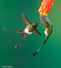 Booted Rackettail hummingbirds fighting.  Ecuador.  Bird photography by wildlife photographer Nate Chappell.