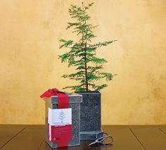 Dawn Redwood Bonsai Kit