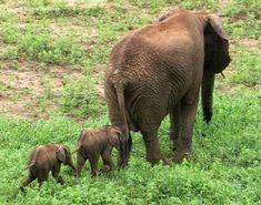 Baby twin elephants.  Source: ABC News 12/8/14.  Elephant twins are very rare, about 1%.