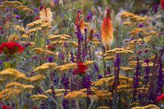 Kniphofia, Salvia and Achillea - beautiful color combination Prairie Planting, Prairie Garden, Dry Garden, Unusual Plants, Rare Plants, Exotic Plants, Plant Design, Garden Design, Herbaceous Border