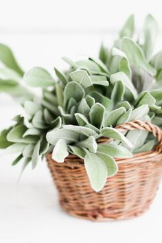 "Sage - ""Can tackle a nagging cough or monthly feeling of bloat. If you tend to gain a pants size during your monthly cycle, banish the bloat with homemade sage tea. --Sage Tea-- Boil 1/3 teaspoon of dried or fresh sage in a cup of water and strain; drink three or four times a day when you're bloated. """
