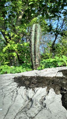 Cactus en roca