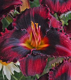 Sultry, deep red petals are rolled back elegantly with tightly ruffled edges framing a velvety black eye. The flowers on this rebloomer are a generous and their rich, golden green throats add contrast.