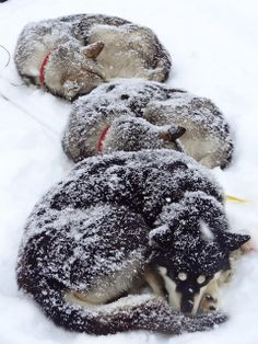 Sledding Dogs, Sarek National Park, Lapland (North Sweden) with Matti from Jokkmokk Guiderna Wolf, Lappland, Working Dogs, Happy Dogs, Pet Birds, Best Dogs, Dog Breeds, Dog Lovers, Husky