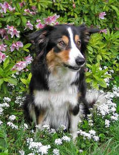 Tri Color Border Collie. Blends in Well With the Flowers.