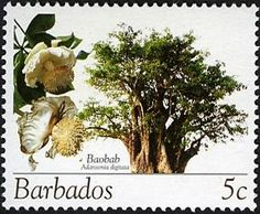 Baobab tree in Barbados