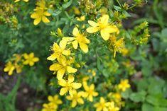 5 Summer Herbs to Preserve Fresh - st. john's wort by Herbal Academy