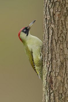 Green Woodpecker (female, notice the black moustache, the male's would be red).