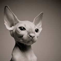 Am I the only one who thinks hairless cats are too cute?