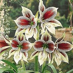butterfly-amaryllis