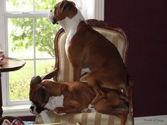 "That ""sit on you"" it's a boxer thing.our boxer mix puppy,does this to our other dog & us! Boxer Breed, Boxer Puppies, Dogs And Puppies, Doggies, Boxer Mix, I Love Dogs, Puppy Love, Cute Dogs, Funny Dogs"