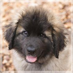 Leonberger puppy (@Karen van Gerner Fotografie)