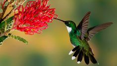 Un oiseau mouche émeraude