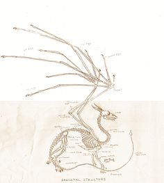 European dragon anatomy BONE by Savamther.deviantart.com