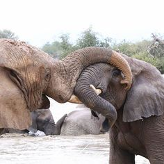 Happy Monday #mypic #canon6D #igscwildlife #natureshots #natures_sultans #wildlifelover #wildlifephotography #wildlife_perfection #world_bestanimal #animal_sultans #animals_magic #loves_southafrica #africanamazing #nature_of_our_world #naturephotography #thisiswhyiloveafrica #beautiful #south_africa_though_my_eyes #animalpolis #allnatureshots #animalcaptures #wildlife_seekers #bestcaptureglobal #bigfive #elephant