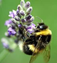 Bumble Bee. Also endangered. Although a certain kind of bee is actually flourishing in BC.