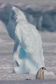 Emperor penguin chick - Antarctica.  -kc