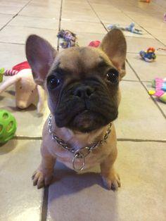 Mia, French Bulldog Princess (and her Kingdom of Toys).