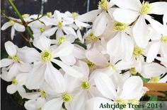 Clematis Armandii - Evergeen with masses of scented, creamy-white nodding flowers in spring. One of the best clematis. Buy online from Ashridge Nurseries Evergreen Clematis, Clematis Armandii, Creamy White, Beautiful Gardens, White Flowers, Home And Garden, Bronze, Spring, Climbing