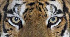 Bloxi - Tiger Trivia