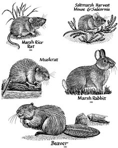 wetland rodents animals jpeg