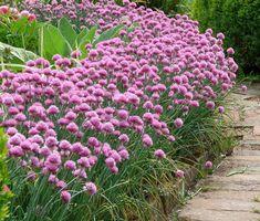 Allium Schoenoprasum, Apple Tree, Kraut, Perennials, Vines, Flowers, Plants, Grasses, Cover