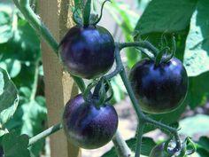Baby Indigo Rose Tomatoes