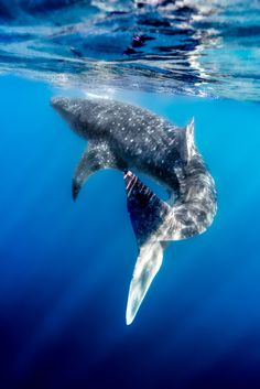 Wild Earth - OK Mr Whale shark you have to be our Scuba Star this week due to your magnificence and grace! Oh what an incredible sight you are :) Photo credit, Alexis Coram