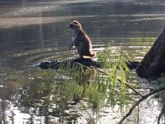 Richard Jones, a Palatka man's son was able to quickly take an amazing photo of a raccoon riding on top of an alligator in the Ocala National Forest Saturday morning. His son must have startled the raccoon, which he said then stumbled toward the water and hopped on top of the gator that was near the water's edge.